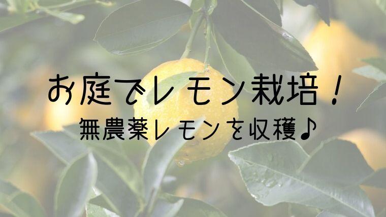 お庭でレモン栽培! 無農薬レモンを収穫♪