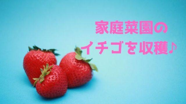 家庭菜園の イチゴを収穫♪